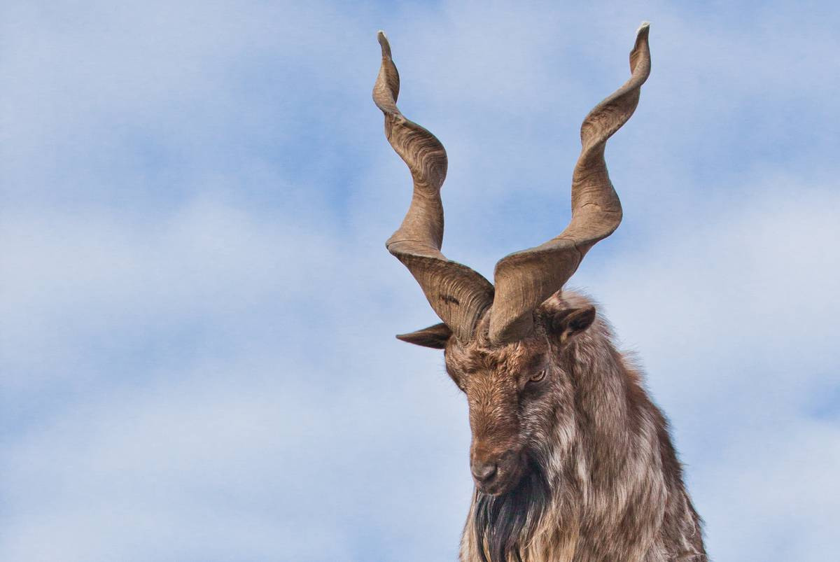 Коронавирус закрывает охоту в Пакистане