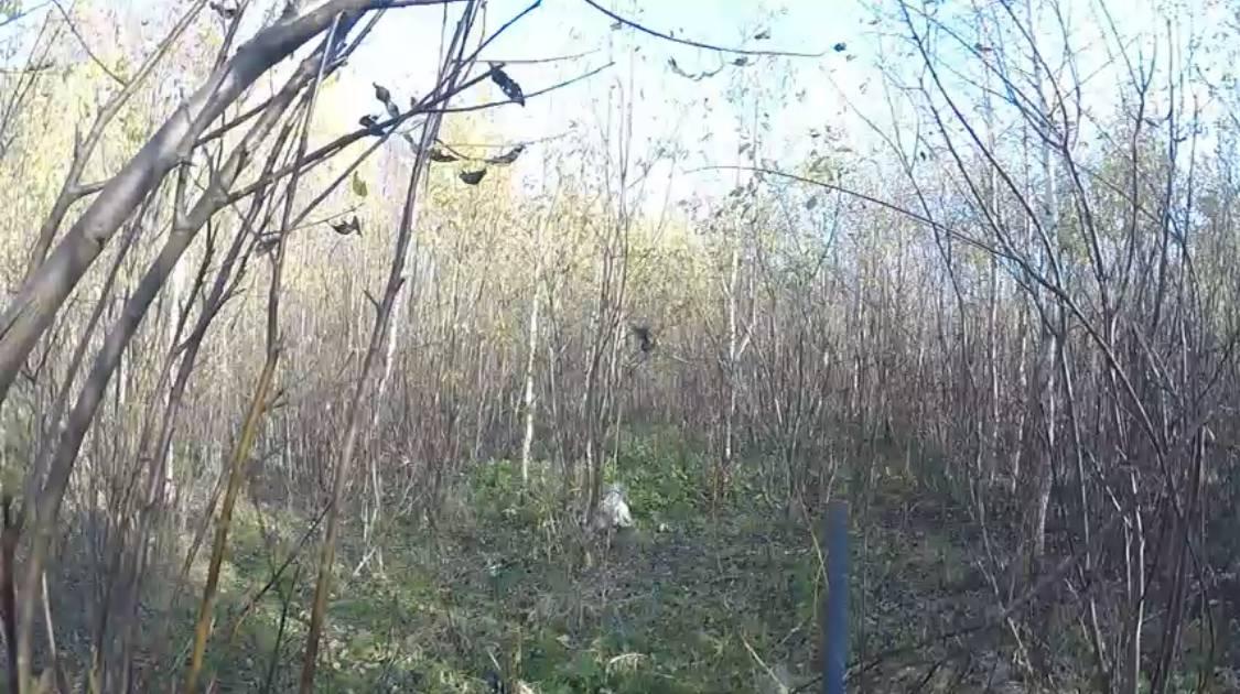 Английские сеттеры из Греции в тверских лесах