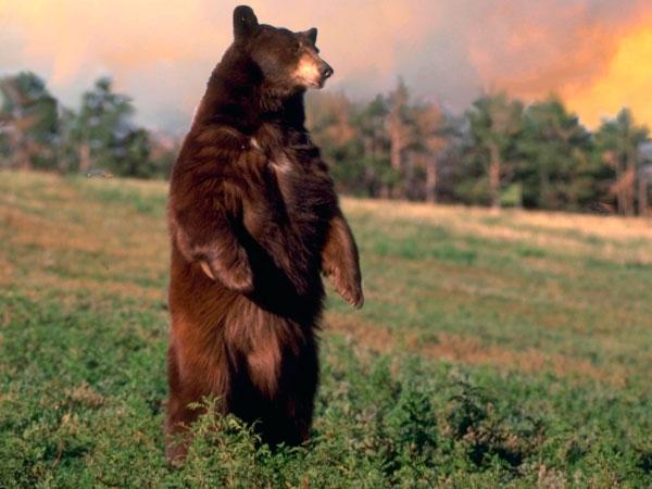 жульный медвед
