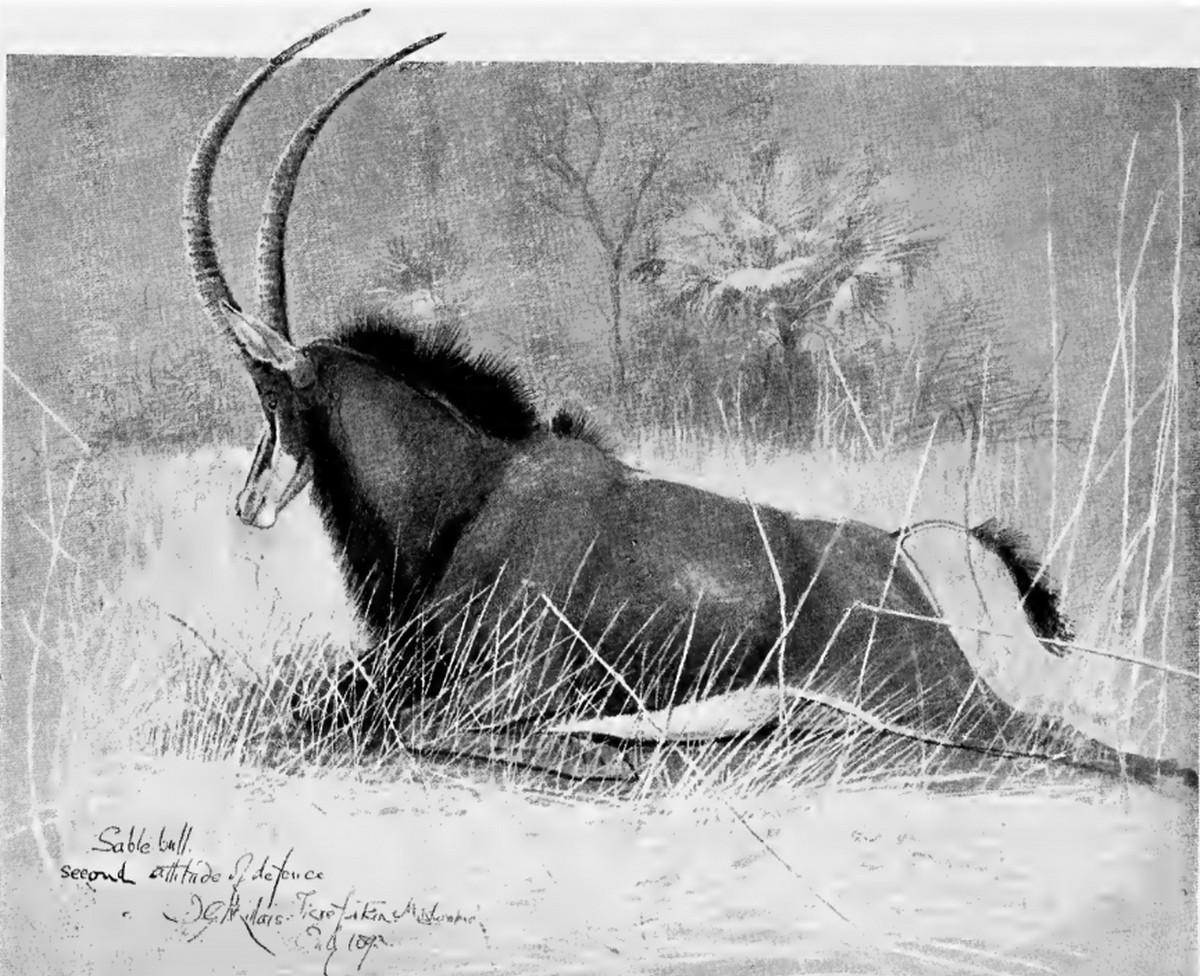 Принц Африки: сейбл, или чёрная антилопа, и охота на него